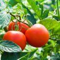 Cultura de hortaliças
